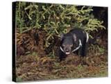 Tasmanian Devil (Sarchophilus Harrisii)  Tasmania  Australia