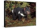 Tasmanian Devil (Sarcophilus Harrisii)  Tasmania  Australia