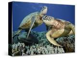 Green Sea Turtles (Chelonia Mydas)  an Endangered Species  at a Cleaning Station Off Maui  Hawaii