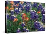 Paintbrush and Bluebonnets  Texas  USA