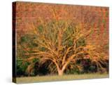 Lichen Covered Tree with Vineyard Behind  Barossa Valley  South Australia