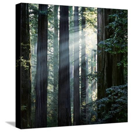diane-miller-sunbeams-coming-through-trees-in-a-redwood-forest