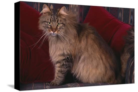 dlillc-maine-coon-cat-on-chair