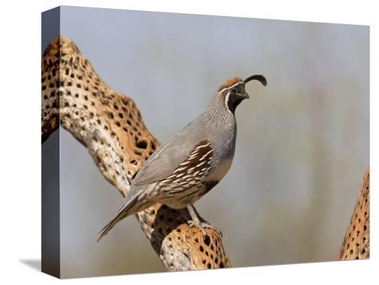 don-grall-gambel-s-quail-callipepla-gambelii-male-perched-on-a-dead-cholla-cactus-stem-sonoran-desert-usa