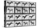 """Album sur la décomposition du mouvement : """"Animal locomotion""""  1872/85:  Ruade de l'âne"""