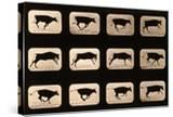 Bull  Running  Irregular from 'Animal Locomotion' Series  C1881