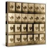 Image Sequence of an Ostrich Running  'Animal Locomotion' Series  C1887