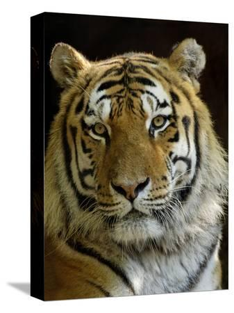 eric-baccega-siberian-tiger-male-portrait-iucn-red-list-of-endangered-species