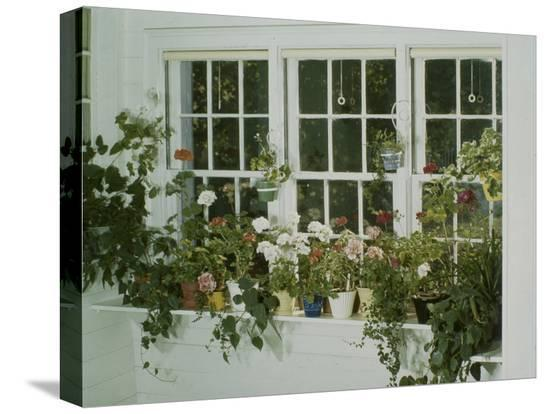 eric-schaal-geraniums