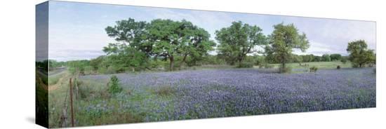 field-of-bluebonnet-flowers-texas-usa