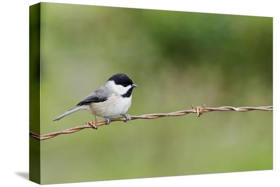 gary-carter-carolina-chickadee