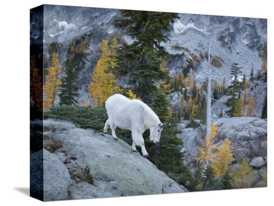 gary-luhm-washington-adult-mountain-goat-steps-down-a-rock-face-in-the-alpine-lakes-wilderness