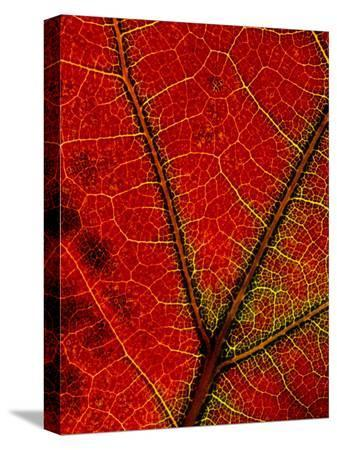 george-f-mobley-a-close-view-of-the-veins-of-a-colorful-maple-leaf-in-autumn