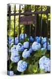 Blue Hydrangeas of Bellevue Ave  Newport  RI