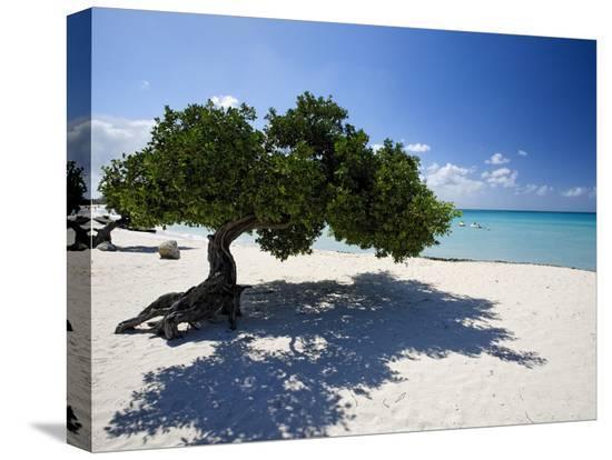 george-oze-divi-tree-aruba
