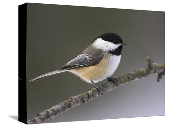 glenn-bartley-black-capped-chickadee-poecile-atricapillus-ontario-canada