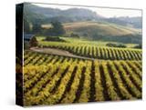 Vineyard at Domaine Carneros Winery  Sonoma Valley  California  USA