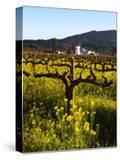Vineyard  Sonoma  California  USA