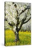 Cherry Trees  Blossom  Spring