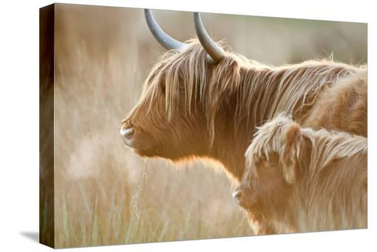 highland-cattle-adult-with-young