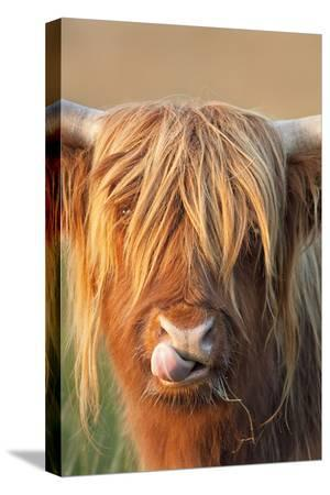 highland-cattle-licking-lips