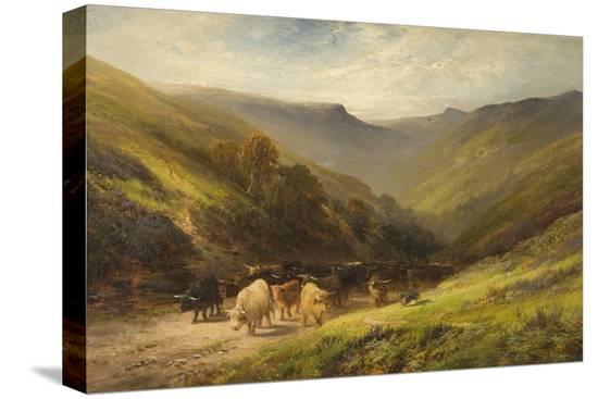 highland-cattle