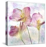 Pink Hyacinth III