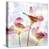 Pink Hyacinth VI