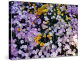 California Poppy and Mexican Primrose  Utah  USA