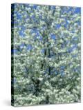 Cherry Blossom  Inverness  Scotland