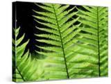 Ferns  Male  Scotland