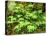 Oak Fern  Inverness-Shire  Scotland