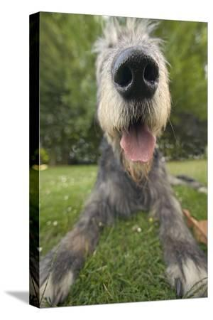 irish-wolfhound-close-up-of-head-and-nose