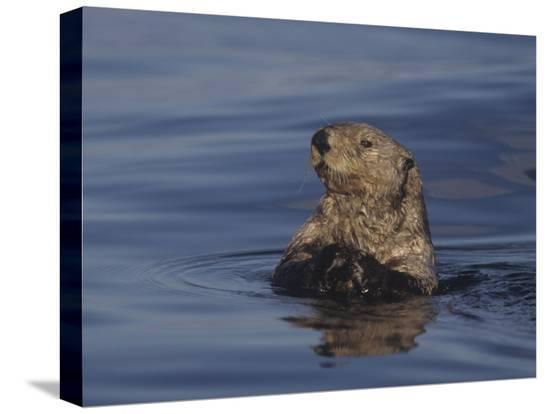 jack-michanowski-sea-otter-enydra-lutris-surfacing-from-a-dive-california-usa-pacific-ocean
