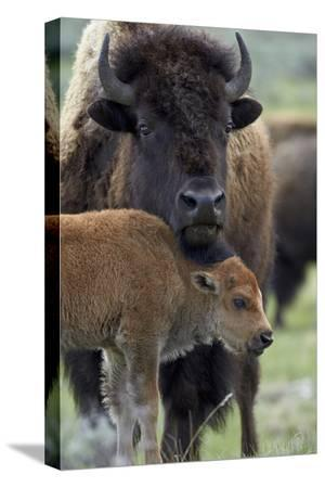james-hager-bison-bison-bison-cow-and-calf