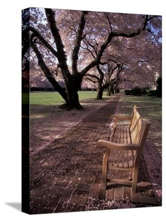 jamie-judy-wild-japanese-cherry-trees-at-the-university-of-washington-seattle-washington-usa