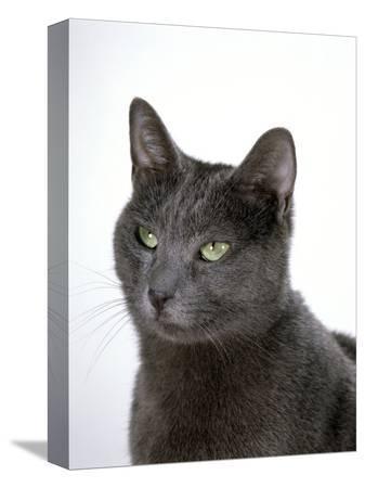 jane-burton-domestic-cat-russian-blue-female