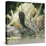 Spotted Seahorse Dark and Light Colour Phases  on Coral Reef  from Indo-Pacific