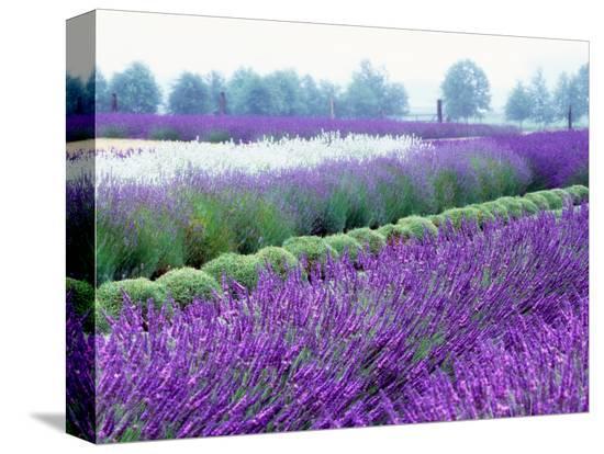 janell-davidson-lavender-field-sequim-washington-usa