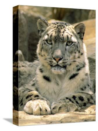 jason-edwards-frontal-portrait-of-a-snow-leopard-s-face-paws-and-predators-stare-melbourne-zoo-australia