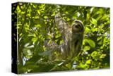 Central America  Costa Rica Male Juvenile Three Toed Sloth in Tree