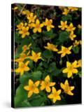 Urban Forestry Center  Marsh Marigolds  Portsmouth  New Hampshire  USA