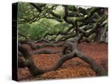 Historic Angel Oak Tree  Charleston  South Carolina  Usa