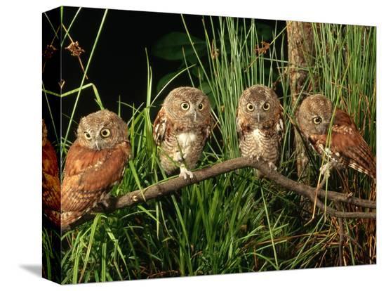 joe-mcdonald-eastern-screech-owl-fledglings