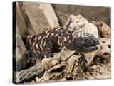 Gila Monster with Extended Forked Tongue (Heloderma Suspectum)  Arizona  USA  Captivity