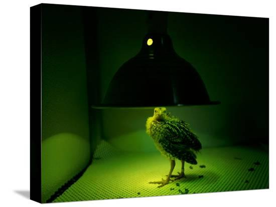 joel-sartore-an-young-attwaters-prairie-chicken-basks-in-the-warmth-of-a-heat-lamp