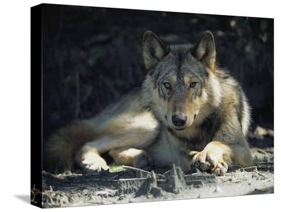 joel-sartore-gray-wolf
