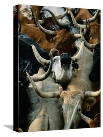 joel-sartore-longhorn-cattle-are-packed-in-during-a-roundup