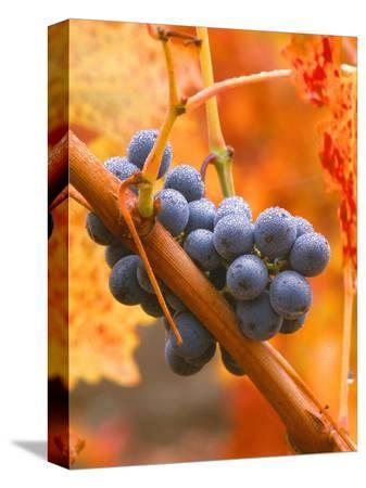 john-alves-dew-on-cabernet-grapes-napa-valley-wine-country-california-usa