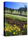 Flowers in a Vineyard at the Sausal Winery  Sonoma County  California  USA